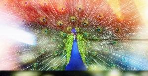 Peacock4L copy